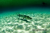 Grand barracuda (Sphyraena) -jcg © 2012