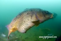 Carpe commune - Cyprinus carpio