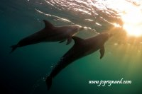To the sun, Tursiops truncatus - jcg © 2012