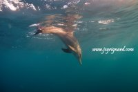 Dauphin, Tursiops truncatus - jcg © 2012