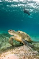 Paisible tortue - Chelonia mydas